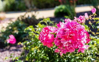 10 Arbustes pour fleurir votre jardin lors de l'arrière saison